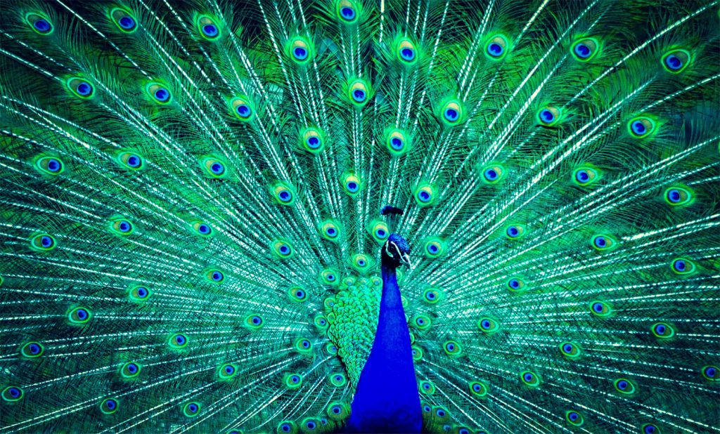 Why Your Marketing Needs to Be Memorable - peacock